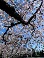 Cherry Blossoms '09
