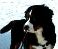 Berners LOVE the snow!